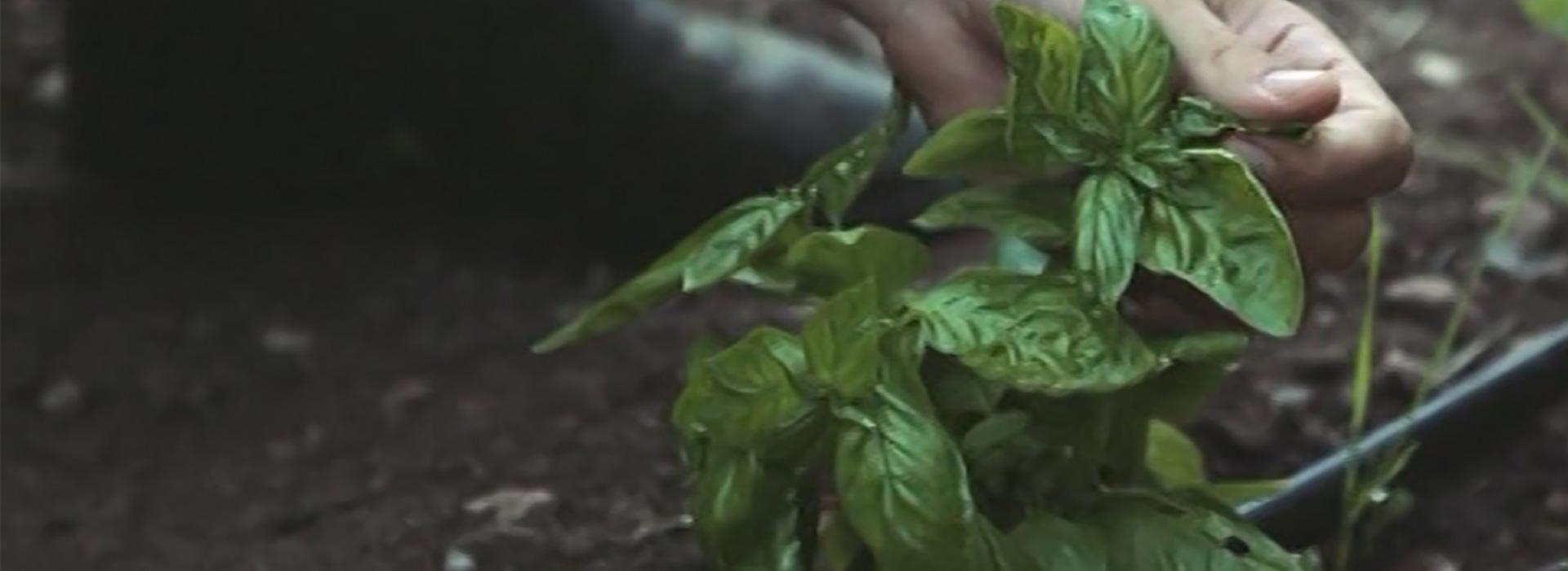 Bioparnon_Herbs_Organic